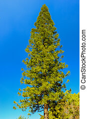 Pine tree on blue sky.