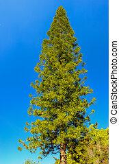 Pine tree on blue sky.