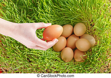 Chicken eggs between green wheat - Putting the chicken eggs...