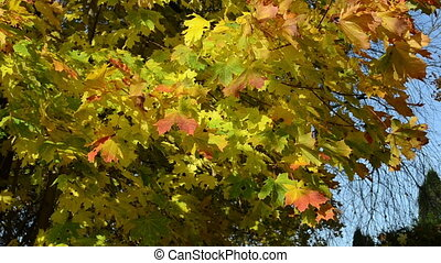 maple tree branch leaves - closeup of autumnal maple tree...