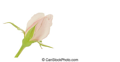 Soft pink rosebud - single pastel pink rose