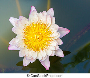 Blooming lotus flower - Close up light orange color blooming...