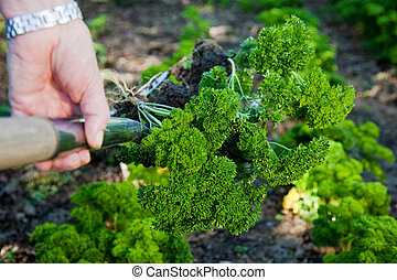 Fresh parsley - Hands picking fresh parsley from the garden
