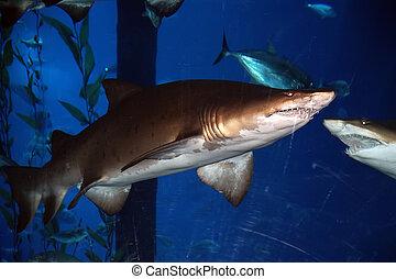 Big shark in the aquarium, close-up, natural light