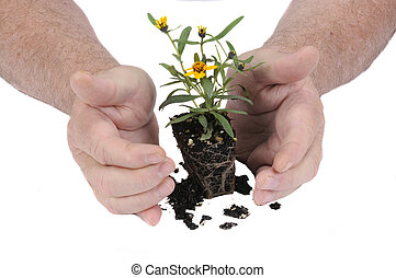 Gardeners hands protecting a new plant