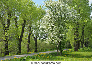 Flowering tree - flowering tree with white flowers in the...