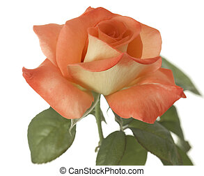 apricot rose - closeup of single apricot valentine rose...