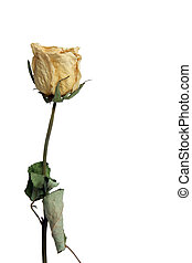 Withered Rose isolated against white background