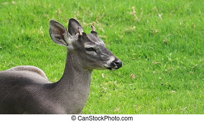 Young White Tail Deer - A young white tailed deer laying in...