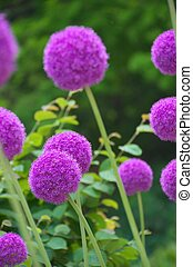 purple allium - this photo is taken in Nagoya city