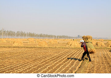 farmers were carrying straw in the rice fields, china. -...