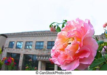 vivid pink rose - this photo is taken in Nagoya city