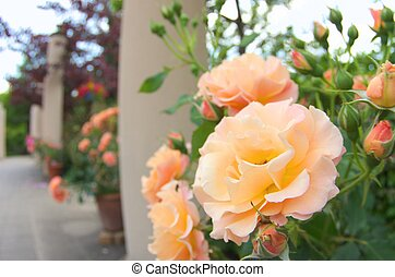 orange rose flowers - this photo is taken in Nagoya city