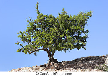 Argan tree (Argania spinosa) against clear blue sky. The...