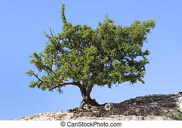 Argan tree (Argania spinosa) against clear blue sky. The...