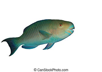 Red Sea Steephead Parrot fish isolated over white