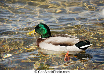 Wild duck - a male of wild duck in a water