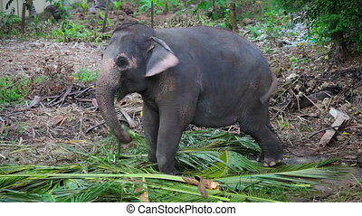A young Asian elephant eats