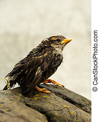 Wet fledgeling European sparrow - Poor little thing later...