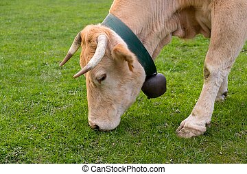 Little bull-calf with bell on his neck eating grass