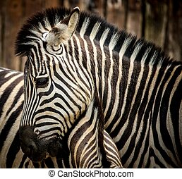 Close-up of a zebra