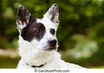 Portrait of blue heeler or Australian cattle dog with space...