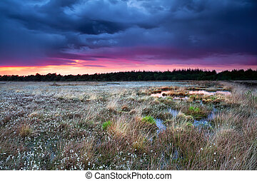 flowering cottongrass on swamp at sunset during storm