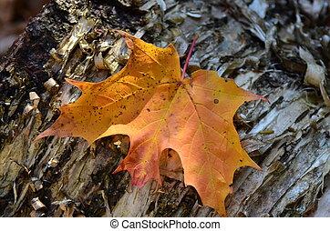 Fall Leaf - Fall leaf on a birch tree