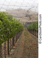 Grape Vines Covered in Protective Netting