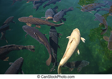 Carp in the Colorado - Carp swimming in the Colorado River,...