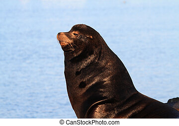 California Sea Lion (Zalophus californianus) basking in the...