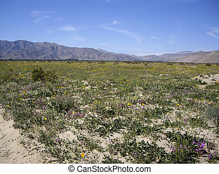 Anza Borrego Desert in bloom - Wildflowers bloom in the...
