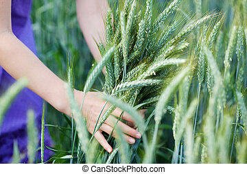 Girl in a field of green wheat - Hands of a young girl...