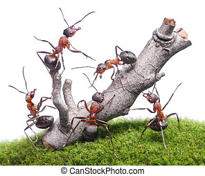 ants bring down old tree, teamwork isolated on white - ants...