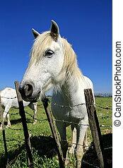 weißes, Pferd,  Camargue, Porträt, Frankreich
