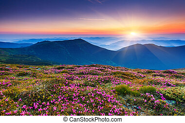 mountains landscape - Magic pink rhododendron flowers on...
