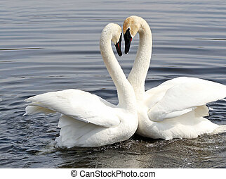 Swan Love - The courtship dance of two Trumpeter swans