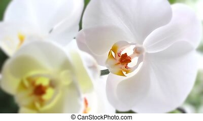 White orchid - Beautiful white orchid