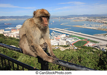 Gibraltar Ape - Barbary Ape on Gibraltar