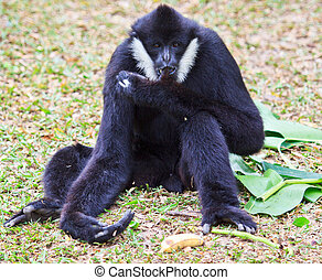 White handed Gibbon or Lar Gibbon