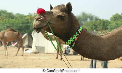At the camel fair - Camel covered with decorations at the...