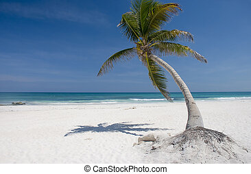 Palm tree on a Caribbean beach in Mexico