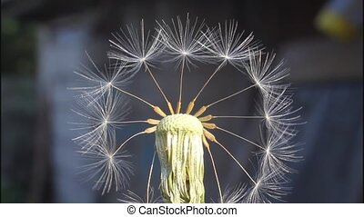 Fantasy with dandelion - Remaining in the inflorescence stir...
