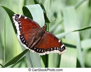 Mourning Cloak Butterfly - A tattered Mourning Cloak...