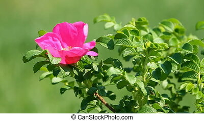 Wild rose flower on the green background