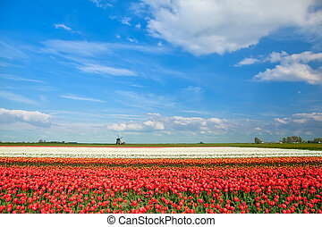 colorful tulip fields and windmill in spring, Alkmaar, North...