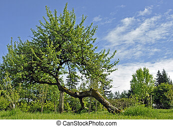 Abnormally Shaped Apple Tree - Old Apple Tree shaped like...