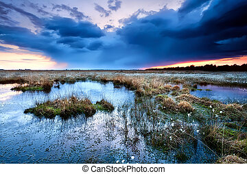 flowering cottongrass on swamp at sunset during storm,...