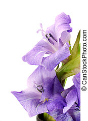 grandiflorus), gladiolo, púrpura, Plano de fondo,...