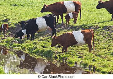 Dutch Belted or Lakenvelder cows drinking water - Dutch...